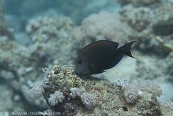 BD-120424-Marsa-Alam-6365-Ctenochaetus-striatus-(Quoy---Gaimard.-1825)-[Striated-surgeonfish].jpg